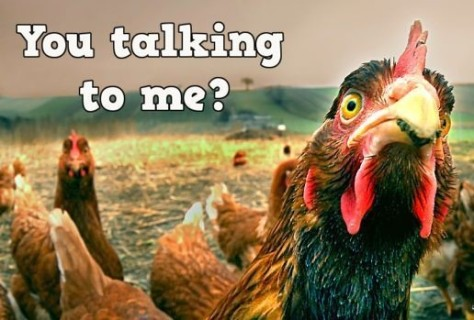 31-you-talking-to-me-chicken-with-an-attitude
