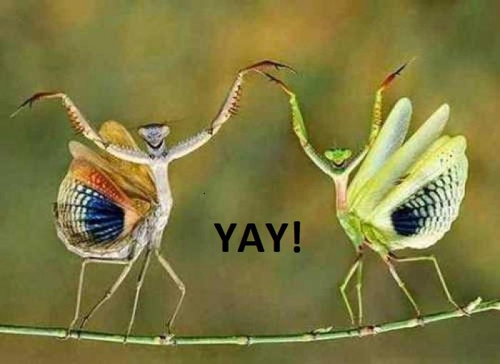 l-9921-yaying-mantises