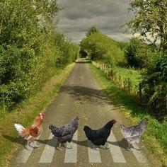 chicken-crossed-the-road-game-math-chicken-abbey-road-a-parody-of-the-abbey-road-but-chickens-taken-this-summer-on-the-road-up-from-in-mathpapa-exponents