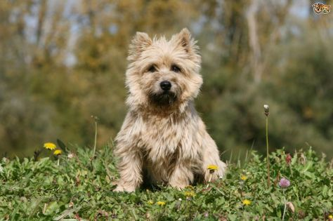 cairn-terrier-or-westie-whats-the-difference-between-the-two-breeds-59661e8f1412c