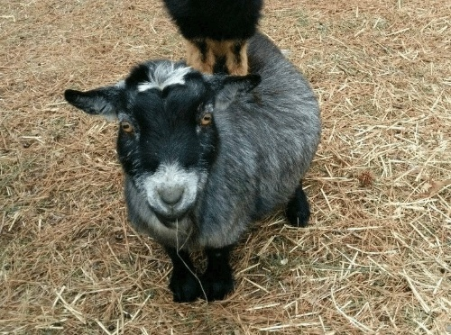 The Great Goat Escape …. Update.
