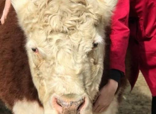 Do you need to hug a cow?